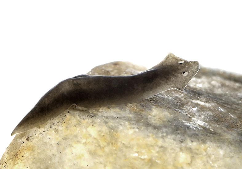 Dugesia gonocephala - Bach-Strudelwurm - Turbellaria (Tricladida) - Strudelwürmer - Aquatisch - aquatic