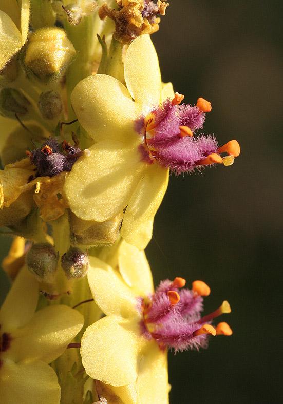 Verbascum nigrum - Dunkle Königskerze - Fam. Scrophulariaceae - Wegrand, Ruderalpflanzen - ruderal species