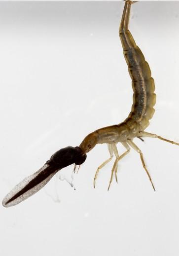 Dytiscus marginalis - Gelbrand-Larve -  - Dytiscidae - Schwimmkäfer - water beetles