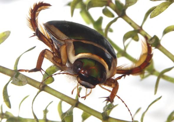 Dytiscus marginalis - Gelbrand -  - Dytiscidae - Schwimmkäfer - water beetles