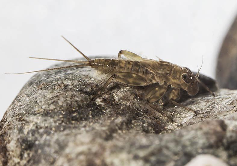 Ecdyonurus helveticus -  - Ephemeroptera - Eintagsfliegen - mayflies