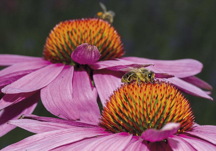 Echinacea sp. - Apis mellifera - Trauttmansdorff -  - Trauttmansdorff - Meran