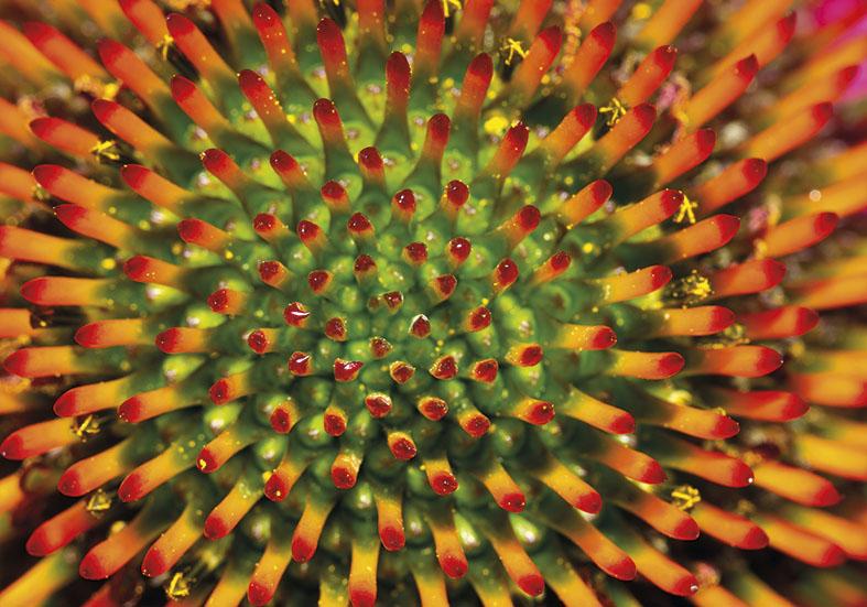 Echinacea sp. -  - Blüten - Flowers