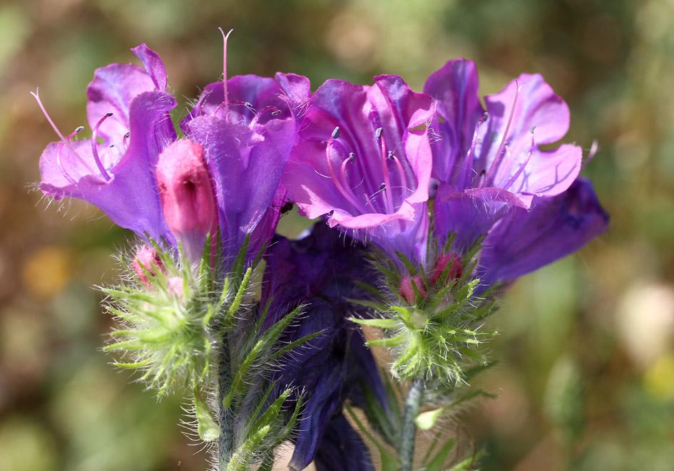 Echium plantagineum-  Wegerichblättriger Natternkopf -  - Ruderal vegetation
