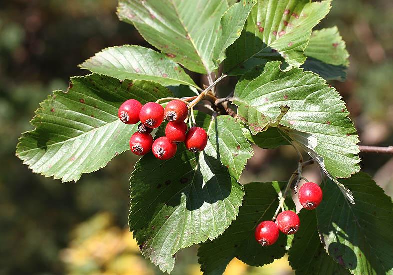 Sorbus aria - Echte Mehlbeere - Fam. Rosaceae - Wald - forest