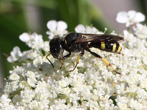 Ectemius continuus -  - Spheciformes - Grabwespen - thread-waisted wasps