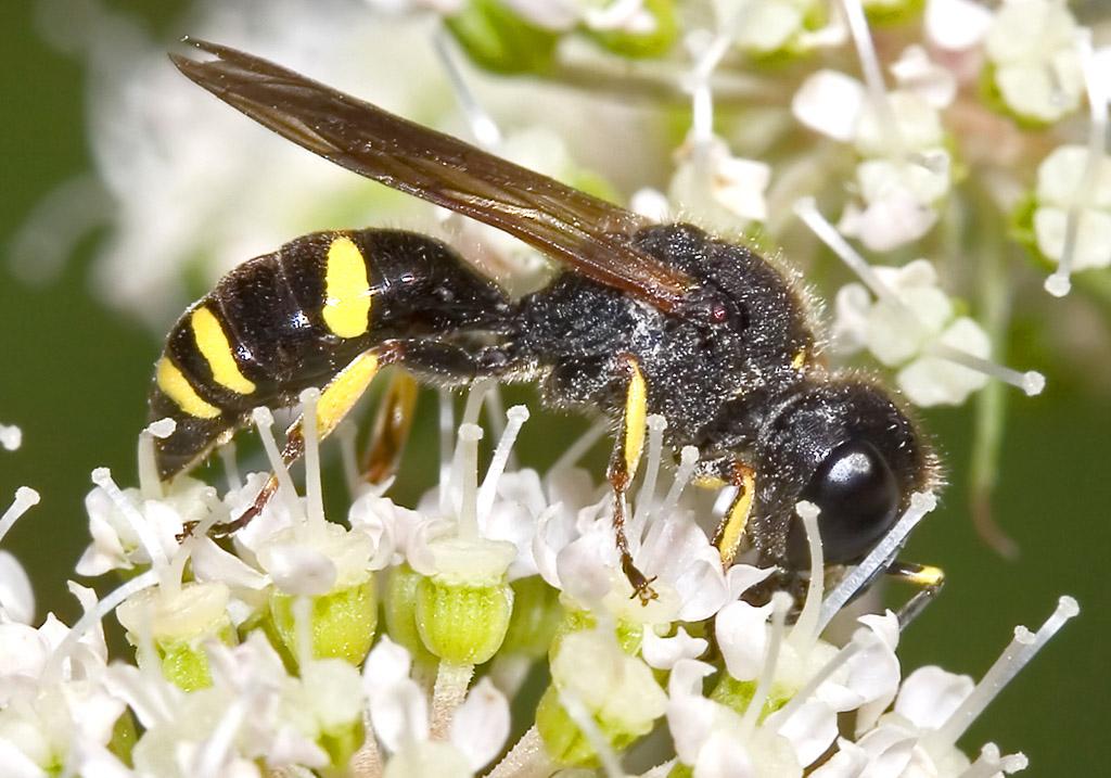 Ectemnius continuus -  - Spheciformes - Grabwespen - thread-waisted wasps