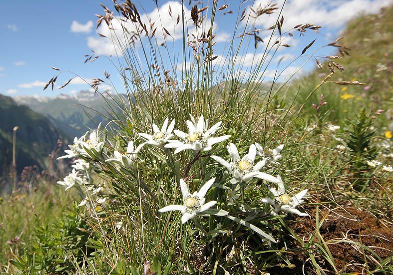 Leontopodium alpinum - Edelweiß - Fam. Asteraceae - Alpine Rasen - alpine grassland