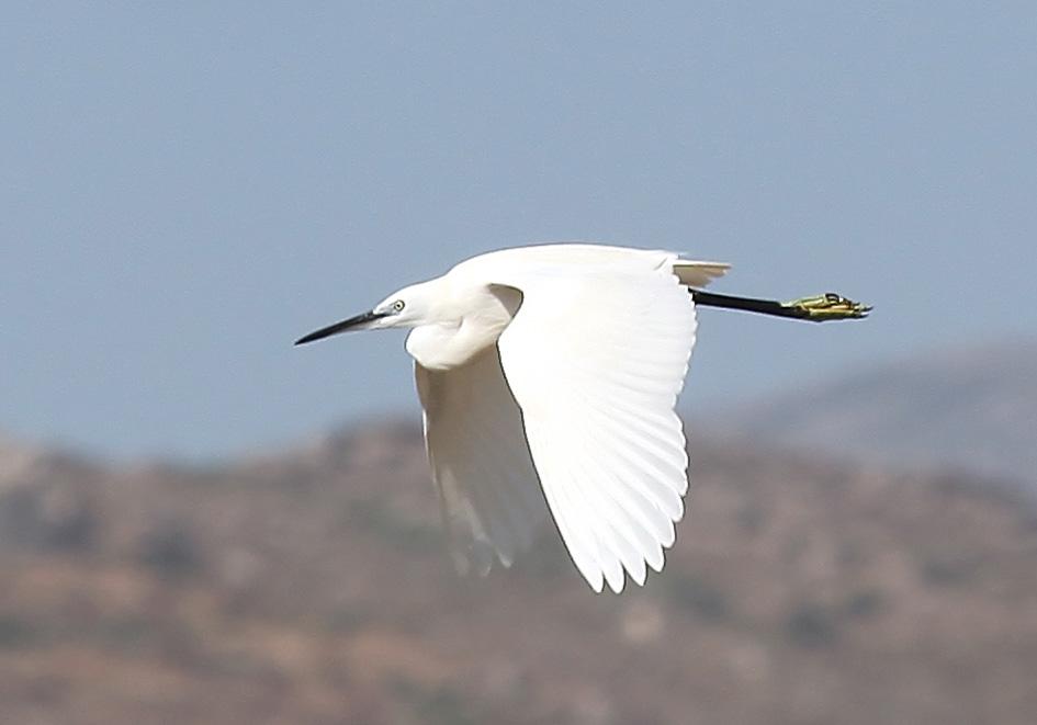 Egretta garzetta - Seidenreiher - Naxos - Aves - Vögel - birds