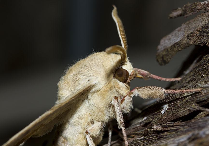 Marumba quercus  -  Eichenschwärmer - Fam- Sphingidae (Schwärmer)   -  Lefkas - Nachtfalter - moths