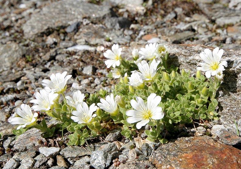 Cerastium uniflorum - Einblütiges Hornkraut  - Fam. Caryophyllaceae - Felsschutt - gravel