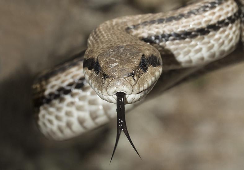 Elaphe quatuorlineata  - Vierstreifennatter  - Pilion (Griechenland) - Serpentes - Schlangen - snakes