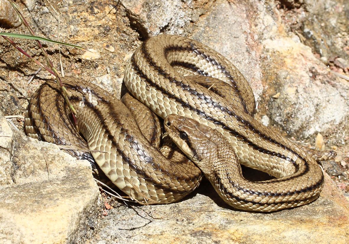 Elaphe quatuorlineata - Vierstreifennatter - Naxos - Serpentes - Schlangen - snakes