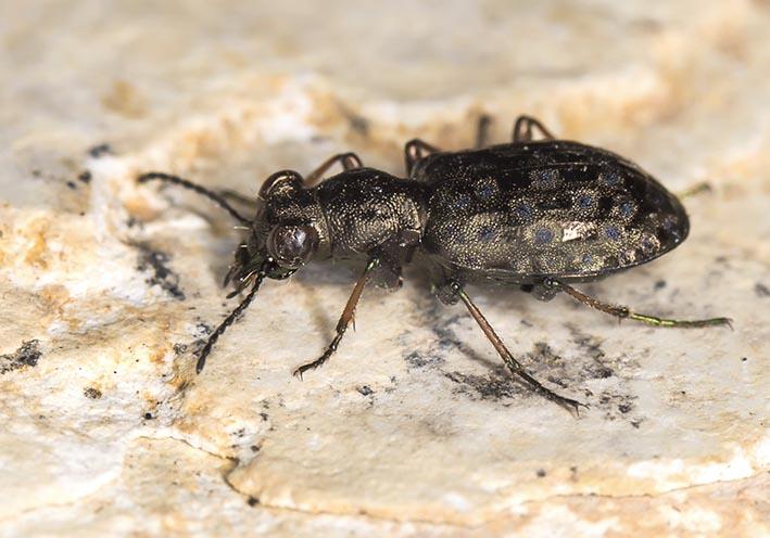 Elaphrus  riparius -  - Carabidae - Laufkäfer - ground beetles