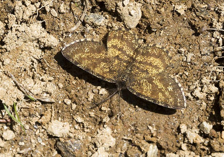 Ematurga atomaria- Heidespanner -  - Geometridae - Spanner - geometer moths