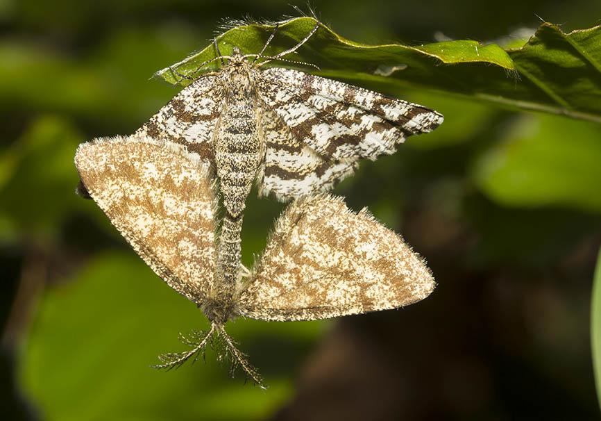 Ematurga atomaria - Heidespanner -  - Geometridae - Spanner - geometer moths