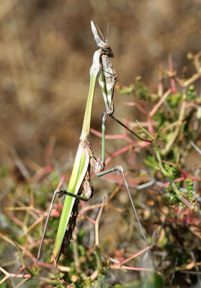 Empusa fasciata - Nissiros - Mantodea - Fangschrecken - praying mantises