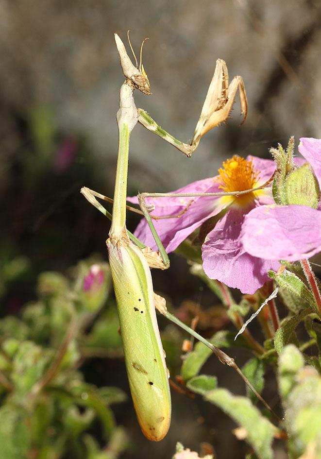 Empusa fasciata - Samos - Mantodea - Fangschrecken - praying mantises