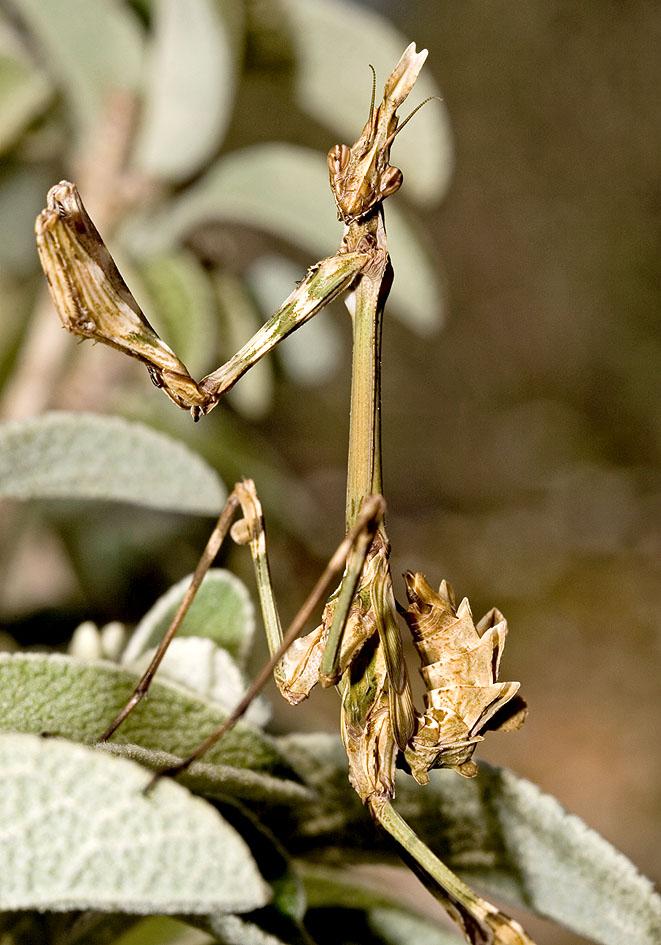 Empusa fasciata (juvenil) - Lefkas - Mantodea - Fangschrecken - praying mantises
