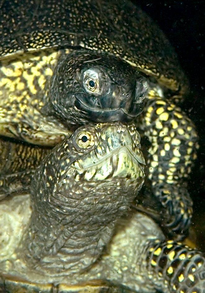 Emys orbicularis - Europäischen Sumpfschildkröte - Alpenzoo - Chelonii - Schildkröten - turtles, tortoises