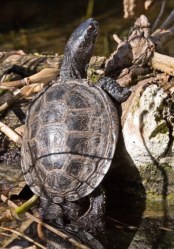 Emys orbicularis - Europäischen Sumpfschildkröte -  - Chelonii - Schildkröten - turtles, tortoises