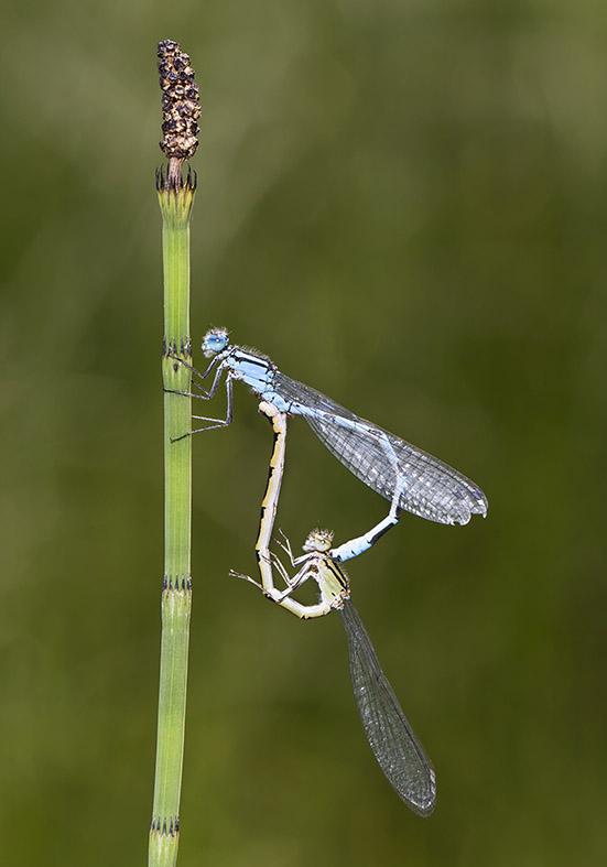 Enallagma cyathigerum - Becherjungfer - Fam. Coenagrionidae - Schlanklibellen - Zygoptera - Kleinlibellen - damselflies