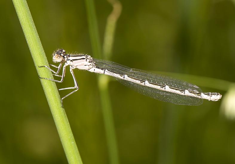 Enallagma cyathigerum - Gemeine Becherjungfer - Fam. Coenagrionidae - Kroatien - Zygoptera - Kleinlibellen - damselflies