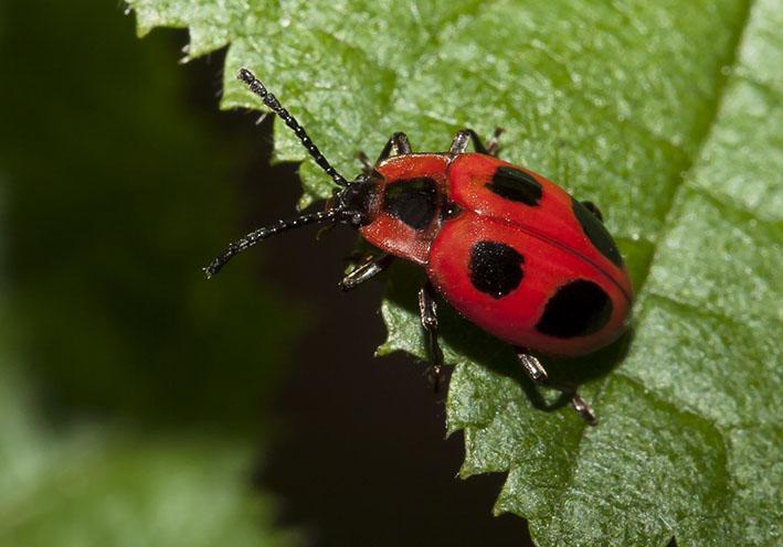Endomychus coccineus -Scharlachroter Stäublingskäfer  -  Fam.  Endomychidae - Stäublingskäfer   - weitere Käferfamilien - other beetle families