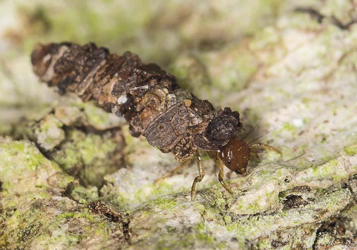 Enoicyla-reichenbachii -  - Trichoptera - Köcherfliegen - daddisflies