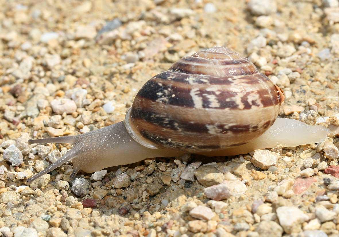 Eobania vermiculata -  - Gastropoda - Schnecken - snails