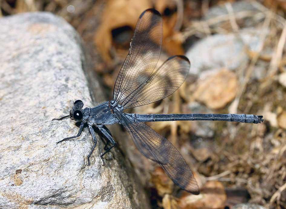 Epallage fatime - Blaue Orientjungfer, Männchen - Fam. Euphaeidae  -  Samos - Zygoptera - Kleinlibellen - damselflies