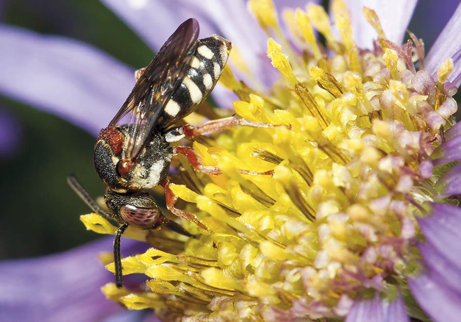 Epeolus cruciger (female)   - Aster amellus - Apidae - Apinae - Bienen - Bees