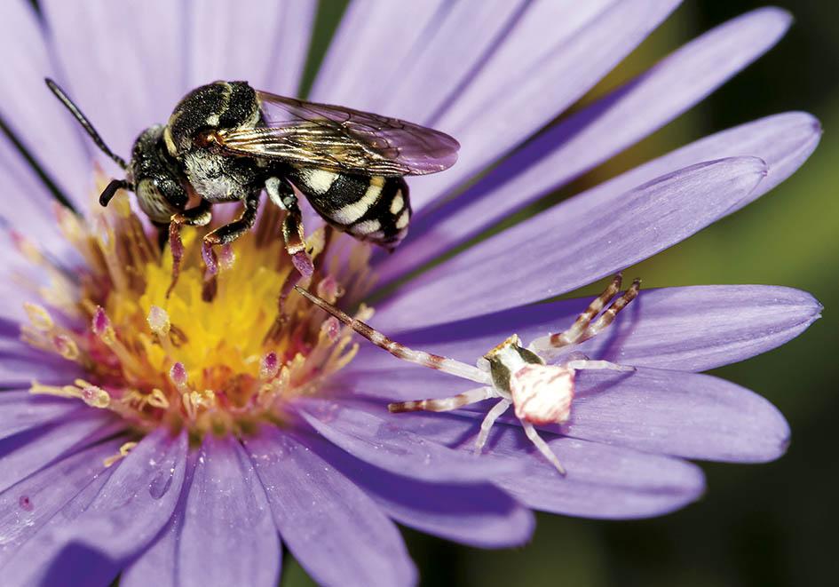 Epeolus cruciger- Heide-Filzbiene (male) + Thomisus onustus - Aster amellus - Apiformes - Apidae - Bienen - Bees
