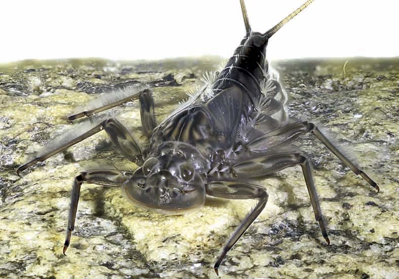 Epeorus alpicola -  - Ephemeroptera - Eintagsfliegen - mayflies