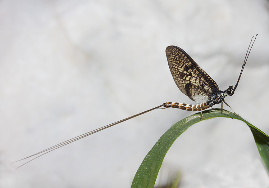 Ephemeroptera - Eintagsfliege - Epirus - Aquatic insects