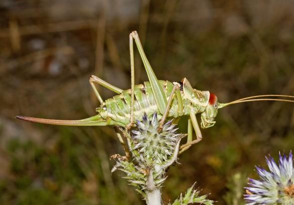 Ephippiger discoidalis - Balkan-Sattelschrecke - Fam. Bradyporidae  - Kroatien - Ensifera - weitere Familien - other families