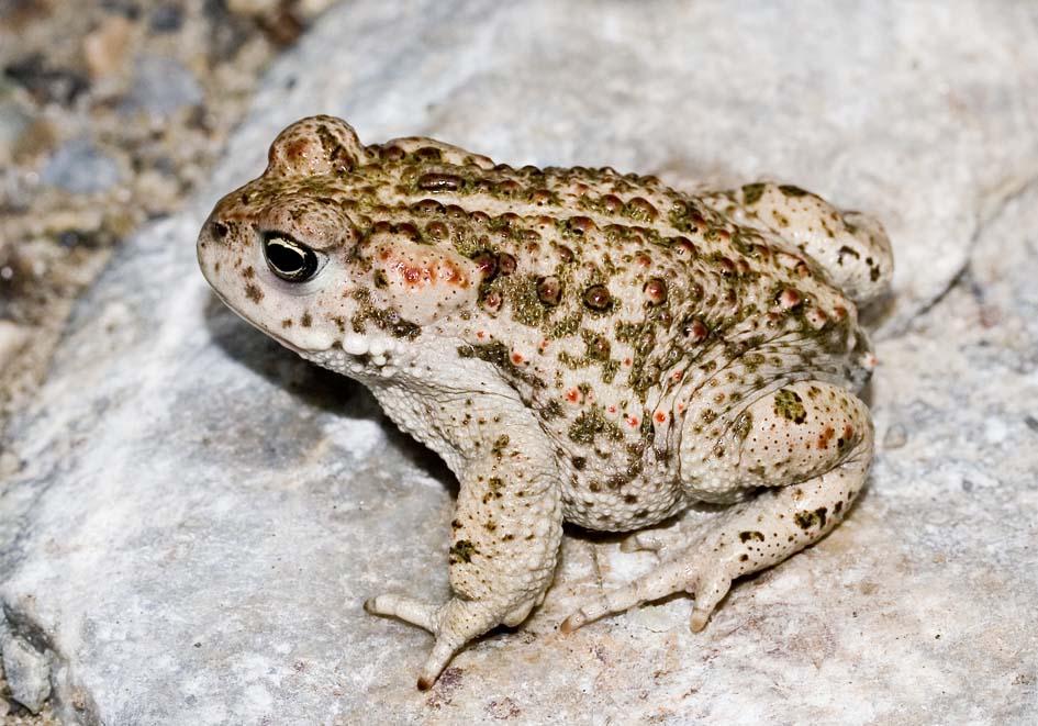 Epidalea calamita (Bufo calamita) - Kreuzkröte -  - Bufonidae - Kröten - toads