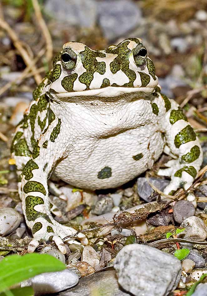 Epidalea viridis (Bufo viridis) - Wechselkröte -  - Bufonidae - Kröten - toads