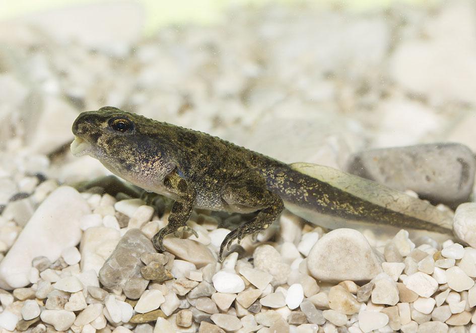 Epidalea viridis - Wechselkröte - Metamorphose - Amphibienentwicklung - amphibian development