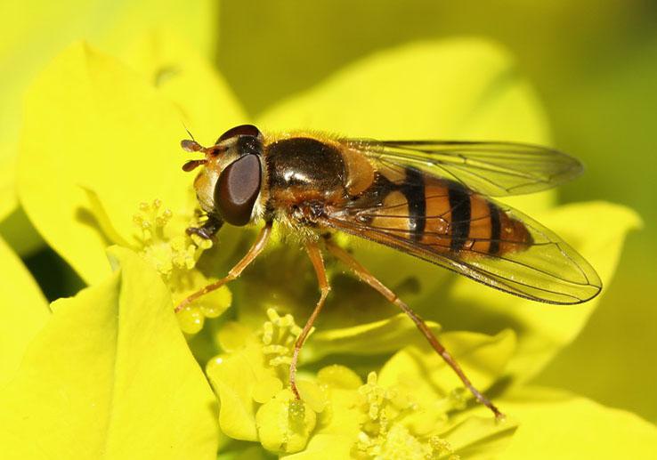 Epistrophe melanostoma - Gelbhalsige Wiesenschwebfliege - Fam. Syrphidae - Schwebfliegen - Brachycera (Fliegenartige) - Aschiza