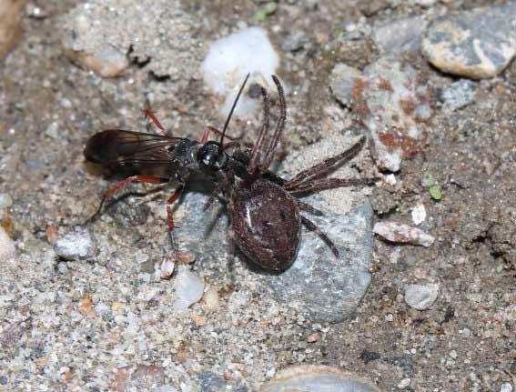 Episyron rufipes - Rotbeinige Wegwespe -  - Pompilidae - Wegwespen - Spider wasps