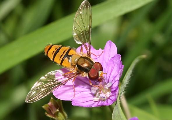 Episyrphus balteatus - Hain-Schwebfliege - Fam. Syrphidae - Schwebfliegen - Brachycera (Fliegenartige) - Aschiza