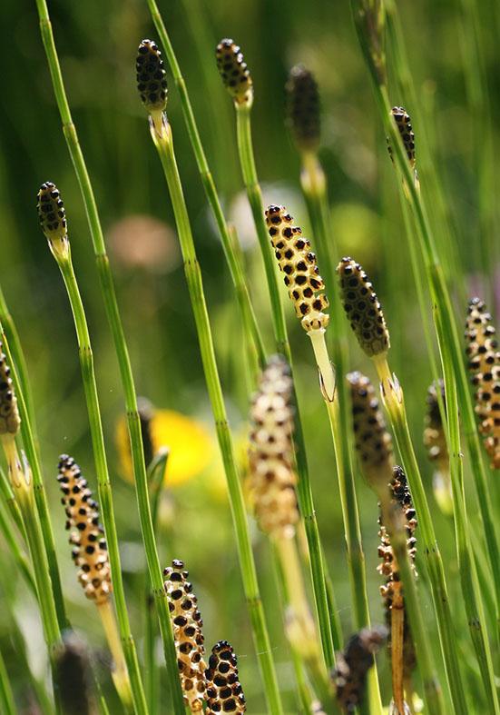 Equisetum palustre - Sumpf-Schachtelhalm - Fam. Equisetaceae - Feuchtgebiete - wetlands