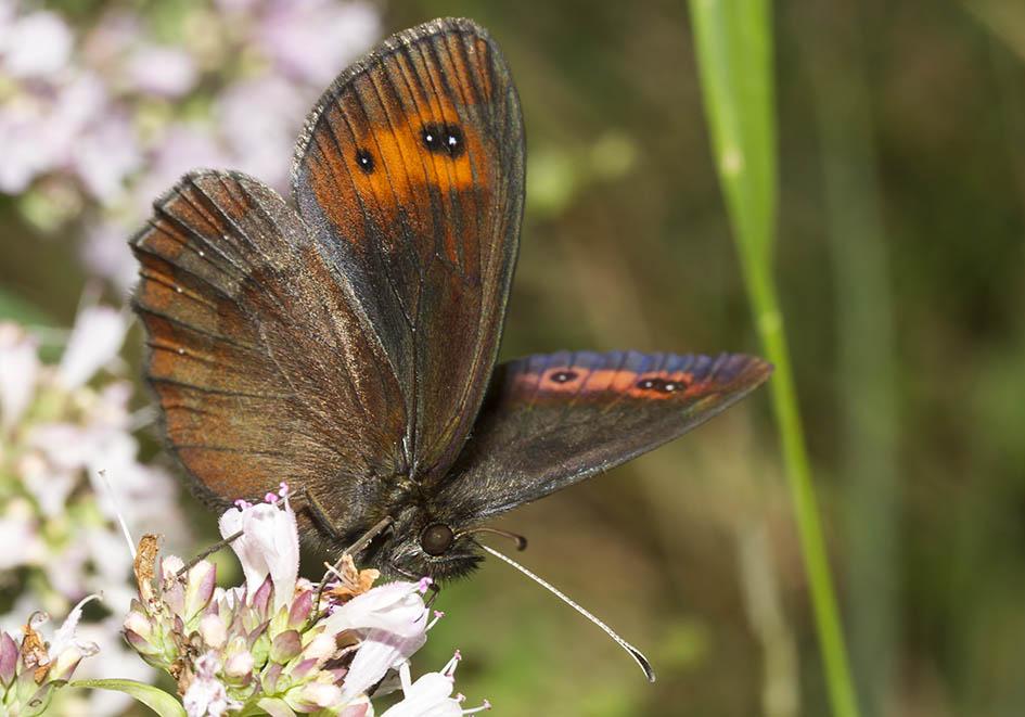 Erebia aethiops  -  Graubündiger Mohrenfalter -  - Nymphalidae - Edelfalter - brush-footed butterflies