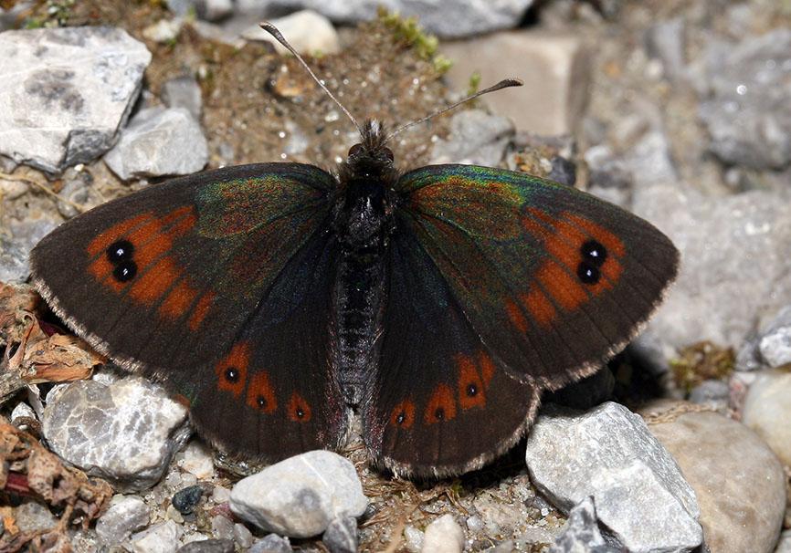 Erebia cassioides - Schillernder Mohrenfalter -  - Nymphalidae - Edelfalter - brush-footed butterflies