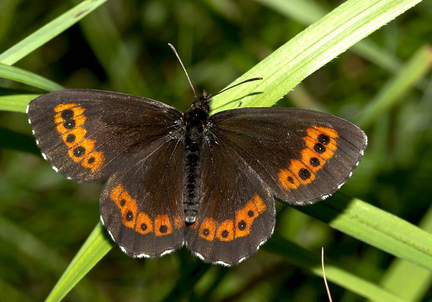 Erebia euryale isarica    - Weißbindiger Bergwald-Mohrenfalter -  - Nymphalidae - Edelfalter - brush-footed butterflies