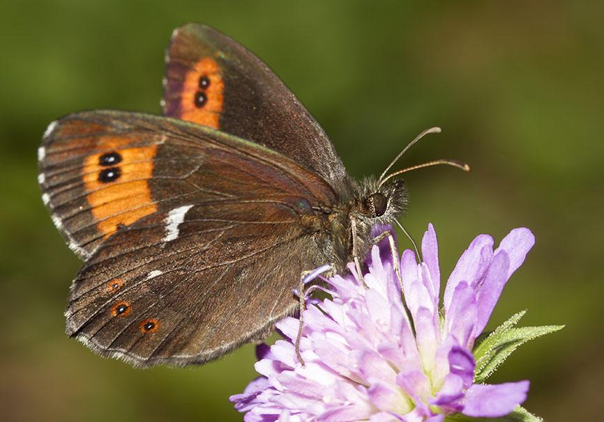 Erebia ligea  - Weißbindiger Mohrenfalter -  - Nymphalidae - Edelfalter - brush-footed butterflies