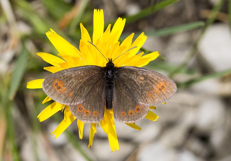Erebia oeme - Mohrenfalter -  - Nymphalidae - Edelfalter - brush-footed butterflies