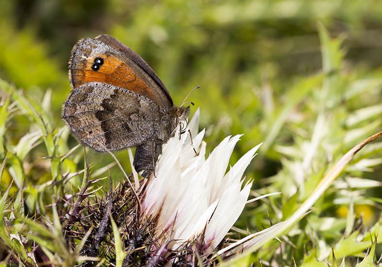 Erebia pronoe - Mohrenfalter -  - Nymphalidae - Edelfalter - brush-footed butterflies