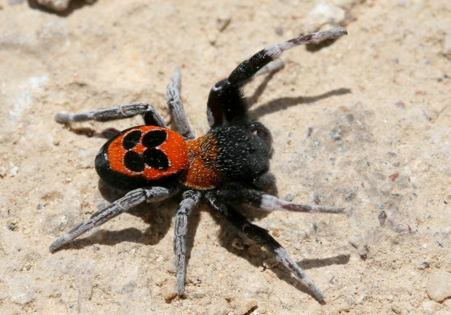Eresus sp. - Röhrenspinne (männlich) - Fam. Eresidae  -  Rhodos - Araneae - Webspinnen - orb-weaver spiders
